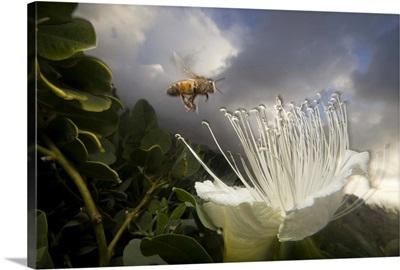 Honey Bee approaching rare Maiapilo (Capparis sandwichiana) flower, Kauai, Hawaii