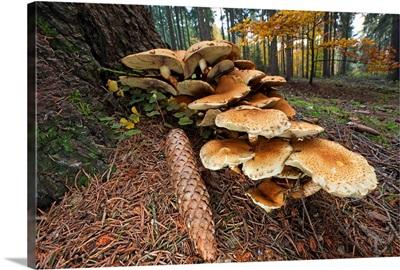 Honey Fungus mushrooms and pine cone at base of tree, Germany