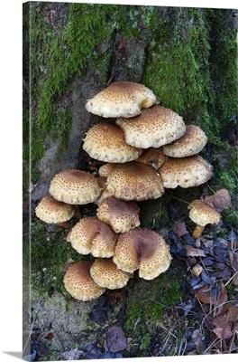 Honey Fungus mushrooms on tree, Germany