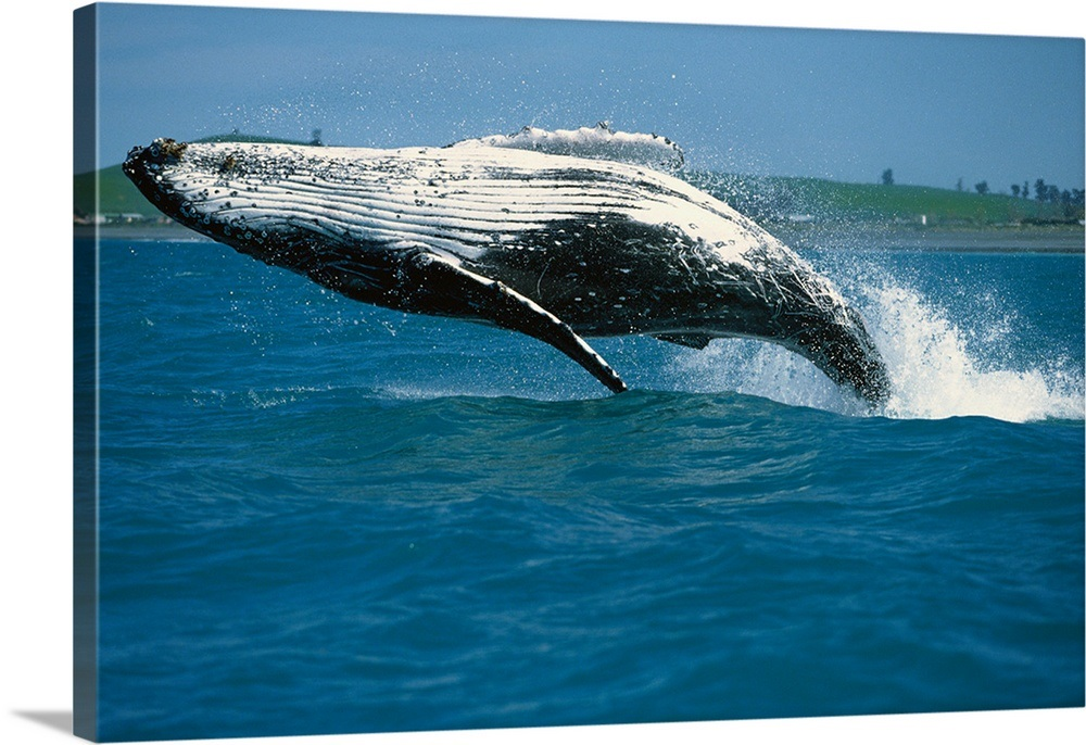 Humpback Whale Breaching Kaikoura New Zealand Wall Art