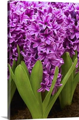 Hyacinth (Hyacinthus sp) miss saigon variety flowers