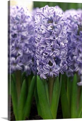 Hyacinth (Hyacinthus sp) skyline variety flowers