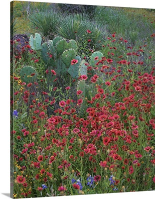 Indian Blanket Flowers And Opuntia Cacti, Inks Lake State Park, Texas