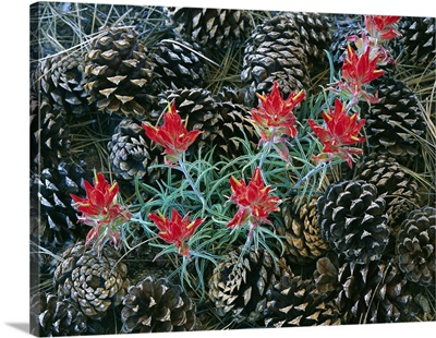 Indian Paintbrush and pine cones, South Rim, Grand Canyon National Park, Arizona