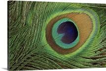 Indian Peafowl (Pavo cristatus) display feathers, India to southeast Asia