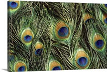 Indian Peafowl (Pavo cristatus) display feathers, native to India and southeast Asia