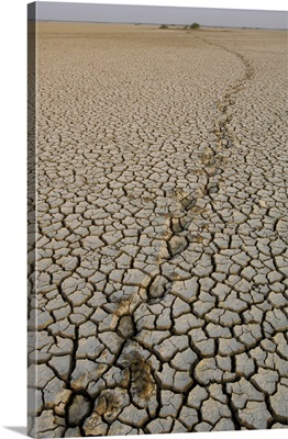 Indian Wild Ass tracks across dry cracked mud, Rann of Kutch, Gujarat, India
