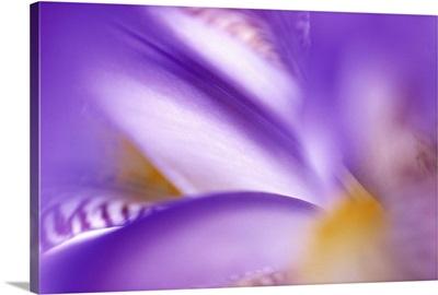 Iris (Iris sp) abstract close up