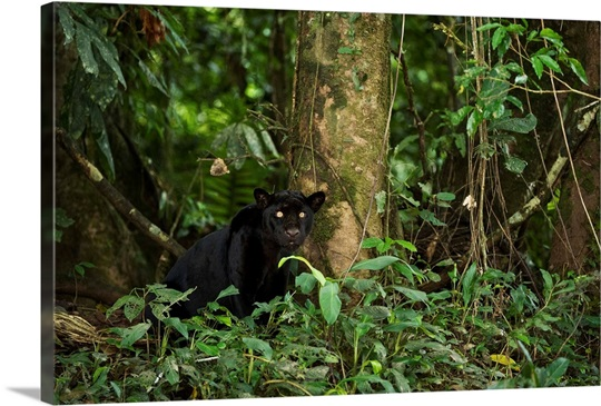 Jaguar melanistic individual, also called a black panther ...