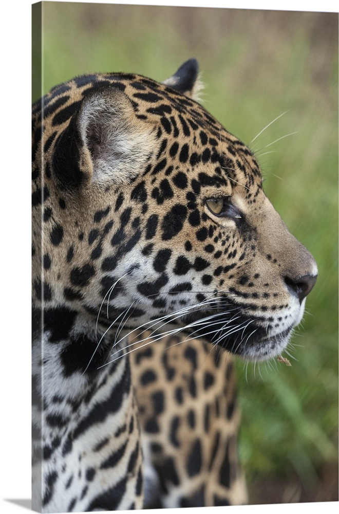 Jaguar, Native To Central And South America