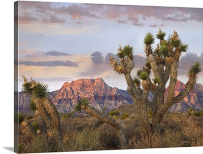 Joshua Tree and Spring Mountains at Red Rock Canyon National Conservation