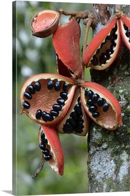 Kelumpang Sarawak split open fruit revealing shiny seeds, Borneo, Malaysia