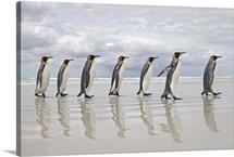 King Penguins (Aptenodytes patagonicus) Volunteer Point, Falkland Islands