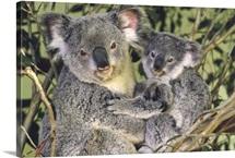 Koala mother with joey, eastern temperate Australia