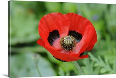 Ladybird Poppy (Papaver commutatum) flowers