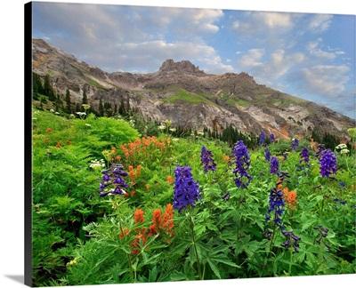 Larkspur And Paintbrush Flowering, Yankee Boy Basin, San Juan Mountains, Colorado