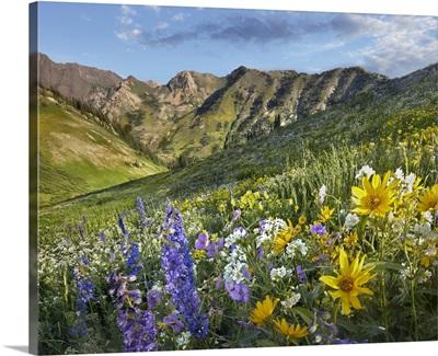 Larkspur (Delphinium sp) and sunflowers, Albion Basin, Wasatch Range, Utah