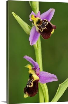 Late Spider Orchid, Switzerland