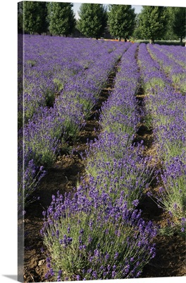 Lavender herb crop in flower, Japan