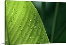 Leaf with water drops, Barro Colorado Island, Panama