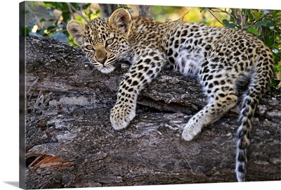 Leopard (Panthera pardus) cub resting in tree, Botswana