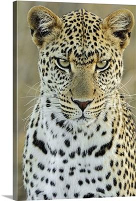 Leopard (Panthera pardus) female, Serengeti National Park, Tanzania