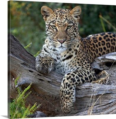 Leopard (Panthera pardus) resting, Botswana