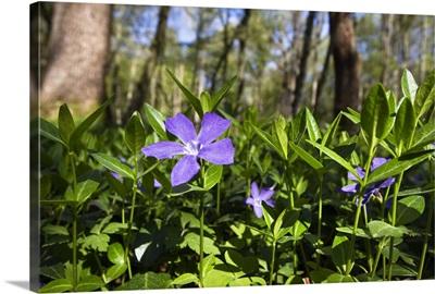 Lesser Periwinkle (Vinca minor) flowers in deciduous forest, Upper Bavaria, Germany