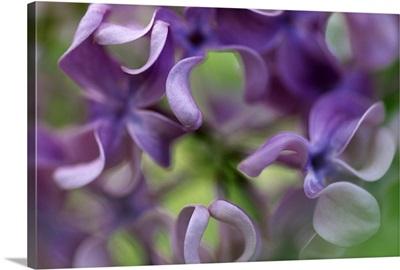 Lilac (Syringa sp) flower, close up of purple petals