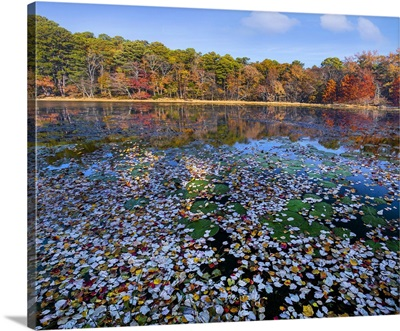 Lily Pads And Autumn Leaves Lake, Daingerfield State Park, Texas