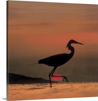 Little Egret (Egretta garzetta) silhouetted at sunset, Africa