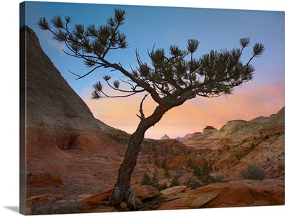 Lone pine tree with East and West Temples in the background, Zion National Park, Utah