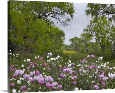 Long Pricklyhead Poppy (Papaver argemone) field near Christine, Texas