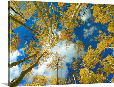 Looking up at blue sky through a canopy of fall colored Aspen trees Colorado