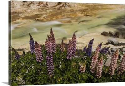 Lupine flowering near Cave Stream, Castle Hill, Canterbury, New Zealand