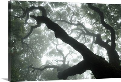 Macaronesian Laurel relict forest, Tenerife, Canary Islands, Spain