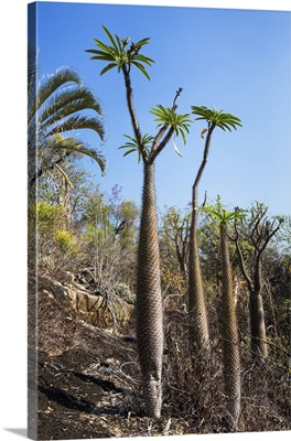 Madagascar Palm trees, Andohahela National Park, Madagascar