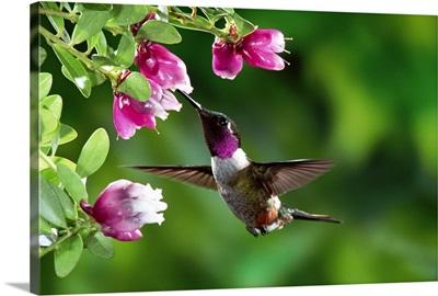 Magenta-throated Woodstar hummingbird feeding on epiphytic Heath, Costa Rica