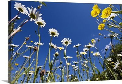 Marguerite flowering in meadow with Meadow Buttercup, Upper Bavaria, Germany