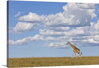 Masai Giraffe walking
