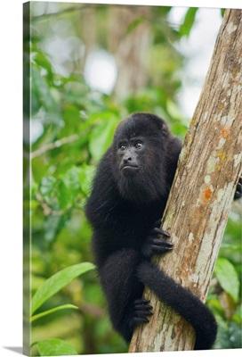 Mexican Black Howler Monkey in tree, Community Baboon Sanctuary, Belize
