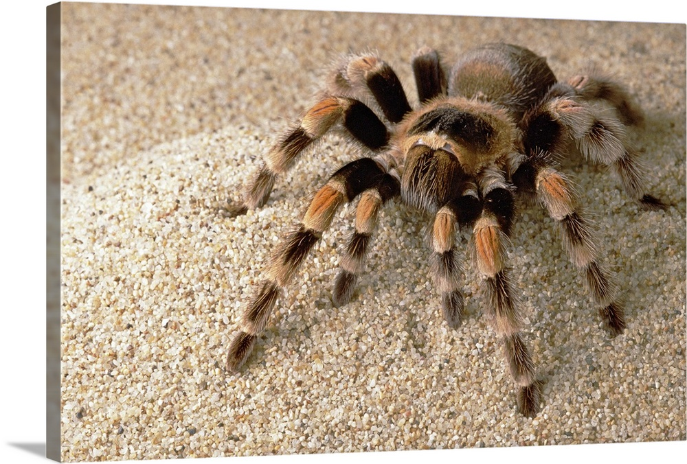 Mexican Red-knee Tarantula (chypelma smithi) portrait, Mexico on map where do tarantula, how long do tarantulas live, map of where camels are from, where do tarantulas live, map where do lizards live on a glass, map of brown recluse spiders in the us, map of arkansas, were tarantula live, map where do praying mantis live, map of mississippi natural resources, maps of where the brown widows live, map of tarantulas in us, map of tarantula hawk wasp,