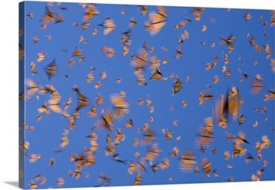 Monarch (Danaus plexippus) butterflies flying during a warm day, Michoacan, Mexico