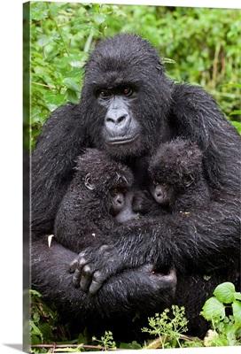 Mountain Gorilla mother holding twin babies, Parc National des Volcans, Rwanda