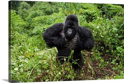 Mountain Gorilla silverback beating chest, Parc National des Volcans, Rwanda
