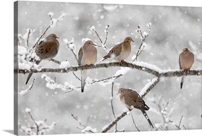 Mourning Dove (Streptopelia decipiens) group in winter, Nova Scotia, Canada