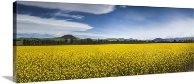 Mustard crop in flower, Canterbury, New Zealand