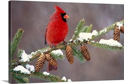 Northern Cardinal (Cardinalis cardinalis) male, South Lyon, Michigan