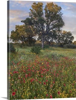 Oak Tree And Indian Blanket Flowers, Texas