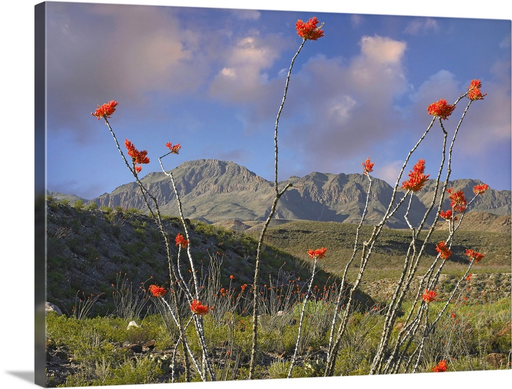 Ocotillo (Fouquieria splendens), Big Bend Ranch State Park, Chihuahuan Desert, Texas
